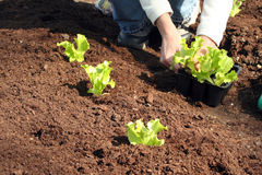 Laitue à planter dans la saleté fraîche Photo stock