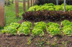Laitue pommée de salade de beurre frais vert de congé dans la rangée d'Organi Photographie stock