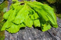 Laitue romaine vert clair sur la vieille table en bois de mon jardin organique images stock