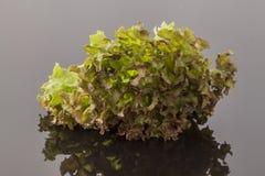 Laitue rougeâtre et verte Image stock