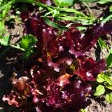 Laitue rouge de salade s'élevant dans le jardin Photo libre de droits