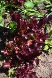 Laitue rouge de salade s'élevant dans le jardin Photos stock