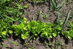 Laitue rouge de salade s'élevant dans le jardin Photos libres de droits
