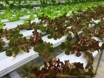 Laitue rouge et verte fraîche de chêne et laitue romaine verte à l'intérieur du plateau blanc de l'eau à l'usine hydroponique photos libres de droits