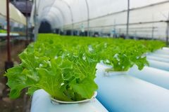 Laitue verte dans la ferme de culture hydroponique photos stock