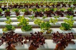 Laitue verte dans la ferme de culture hydroponique Image stock