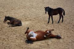 Laiyng drôle de chevaux en sable photos libres de droits