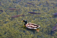 Lake. Duck swimming surrounded by fish in a clear water lake Royalty Free Stock Photos