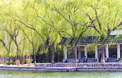 Lake and willow in the spring wind. The willow branch in the wind in spring season Royalty Free Stock Images