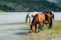 Lake Akkem, horses. Trekking in the Altai Mountains Stock Photo