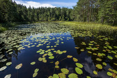 Lake with aquatic plants. Panoramic view of a lake in Finland covered by aquatic plants royalty free stock photos
