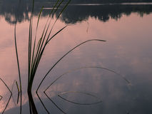 Lake with aquatic plants silhouette Royalty Free Stock Photo