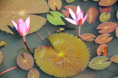 Lake with aquatic plants on Thailand Royalty Free Stock Image
