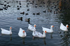 Lake Arrowhead. Geese and ducks at Lake Arrowhead on a peaceful afternoon Royalty Free Stock Photography