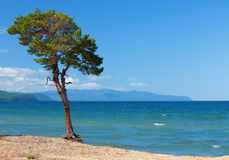 Lake Baikal. Lonely tree Stock Photos