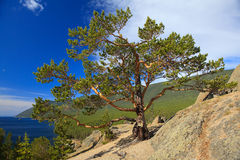 Lake Baikal. Lonely tree ashore Stock Photography
