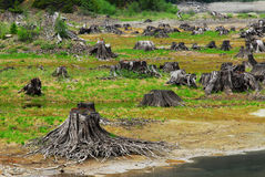 Lake bed with dead trees. Scene of dry lake bed full with dead trees in strathcona provincial park in vancouver island, british columbia, canada Royalty Free Stock Photos