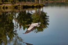 Lake Bird Glide. Lake Bird Gliding on Lake with reflection Royalty Free Stock Photography
