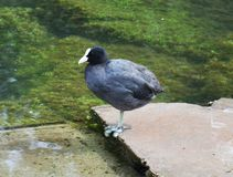 Lake bird with white beak. A nice river bird with white beak and legs staring at the reflections of the water Royalty Free Stock Image