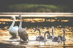 Lake and birds at sunset. Lake and birds swans at sunset stock photos