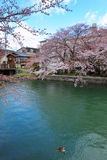 Lake Biwa Canal with sakura Royalty Free Stock Images
