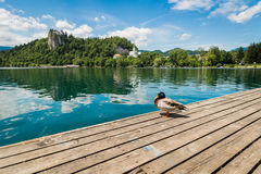 Lake Bled and duck. Royalty Free Stock Image