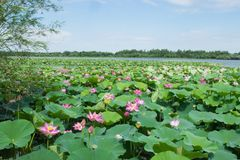 Lake with blooming lotuses Stock Photography