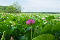 Lake with blooming lotuses Stock Image