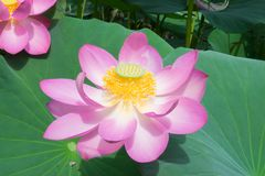 Lake with blooming lotuses Royalty Free Stock Images