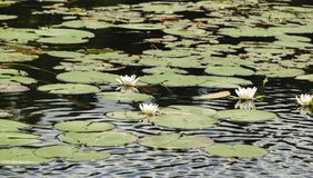 White water lilies on the surface of the lake. Lake with blooming white water lilies Stock Images