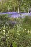 Lake bluebell. Bluebells and pond in the woods Royalty Free Stock Images