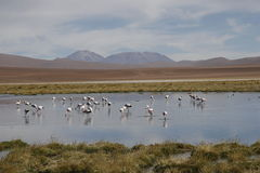 The lake in bolivia. Some flamingos in the lake in the bolivian landscapes Stock Images