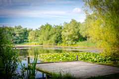 A lake on a British summers day. A lake surrounded by lush green trees. A platform extending out to the lake next to the lily pads Stock Photos
