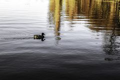 A lake with calm water and lonely duck stock photo
