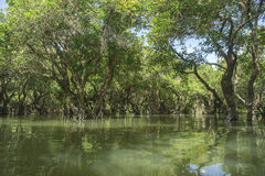 Lake in Cambodia. Mangrove forest on the lake in Cambodia royalty free stock images