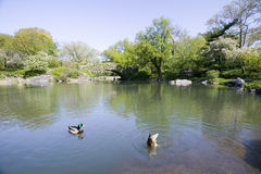 Lake in Central Park in Spring with two ducks in view, New York City, New York Royalty Free Stock Image