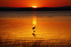 Lake Champlain Hunting Heron at Sunrise Royalty Free Stock Photos