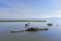 Lake Chapala Pelicans. Lake Chapala scenic of pelicans skiffs and mountains in Mexico stock photography