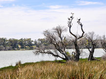 Lake Coogee with Australian Ibises Royalty Free Stock Photography