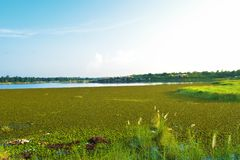 A lake covered by water hyacinths royalty free stock photo