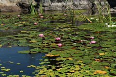 Lake covered with water lilies. Rock in background Royalty Free Stock Images