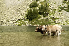 Lake cows day cooling off in August Stock Photos
