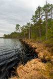 Lake with dark water and the tall pines Royalty Free Stock Image