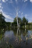 The lake a dead  birches. The Summer landscape. Lake with dead white birch Royalty Free Stock Images