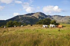 Lake District Cows Stock Image