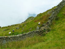 Lake District grazing sheep Royalty Free Stock Images