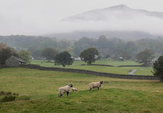 Lake District sheep Stock Photos