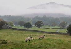Lake District sheep stock photos