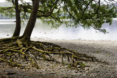 Lake district stunning nature. A tree with prominent roots on the beach of Calfclose bay in the Lake district, UK Stock Photography