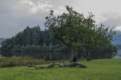 Lake district tree Royalty Free Stock Images